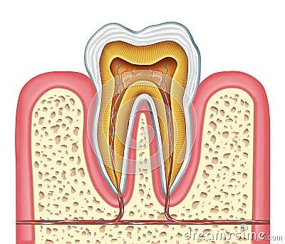 Anatomia ząb zdrowy ludzki