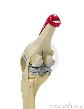 Anatomic model of a knee