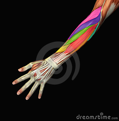 Anatomical human arm