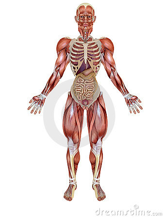 Anatomical human figure
