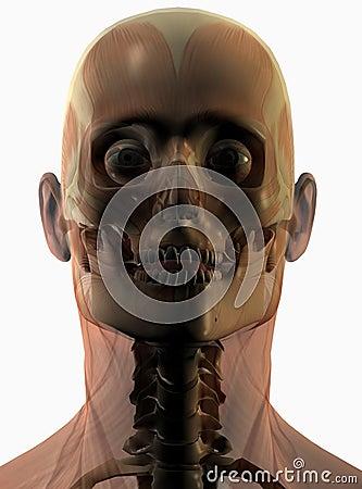 Anatomical human portrait