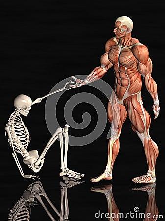 Anatomical man and skeleton