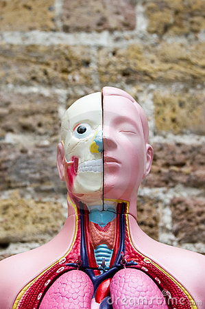 Anatomical Medical Model Stock Photo - Image: 15094860
