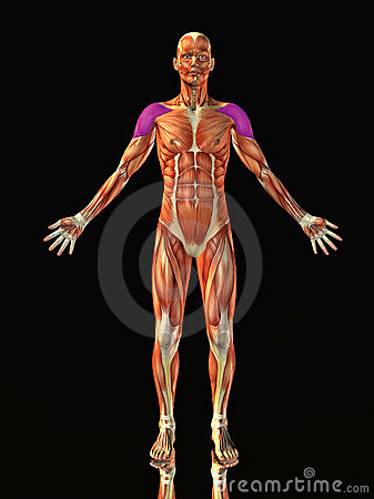 Anatomical muscular man