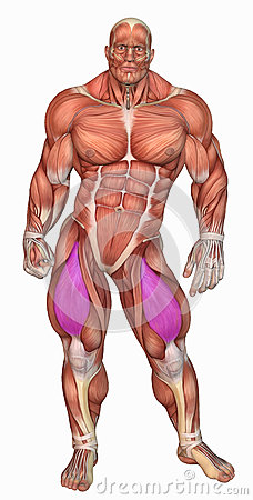 Anatomical muscular man