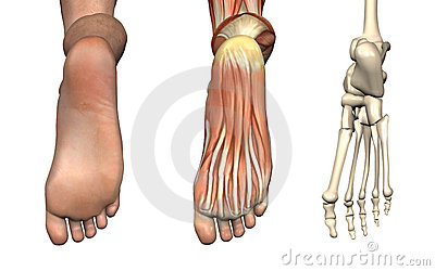 Anatomical Overlays - Foot
