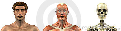 Anatomical Overlays - Male - Head and Shoulders - front