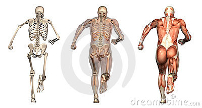 Anatomical Overlays - Man Running - Back View