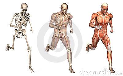 Anatomical Overlays - Man Running - Front View
