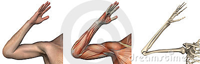 Anatomical Overlays -right arm