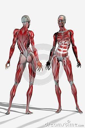 Anatomical woman