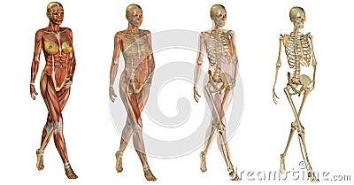 Anatomical women bodies