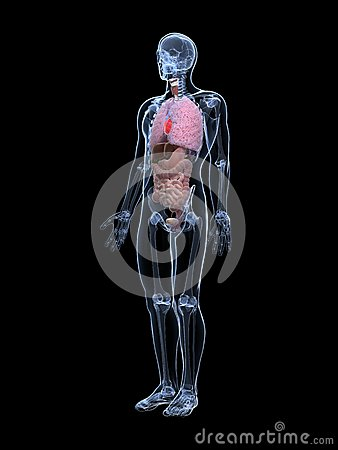 Anatomie mâle