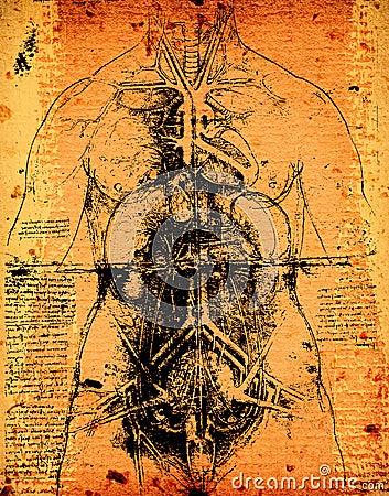 Free Anatomy Art Royalty Free Stock Photos - 33009618