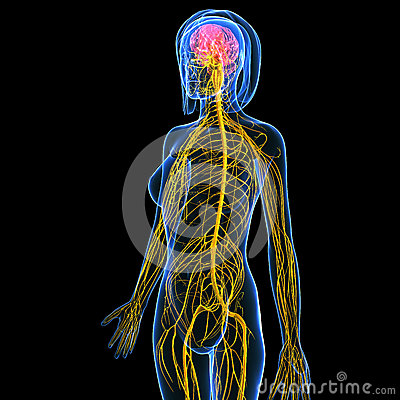 anatomy of female body nervous system with brain