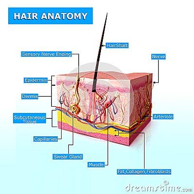 Anatomy of hair