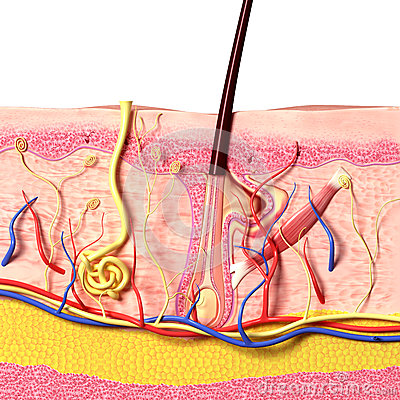 Anatomy of hair follicles