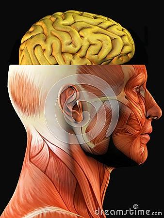 Anatomy of head and brain