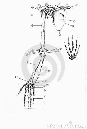 Anatomy Of Human Arm And Hand Stock Photos Image 35247703