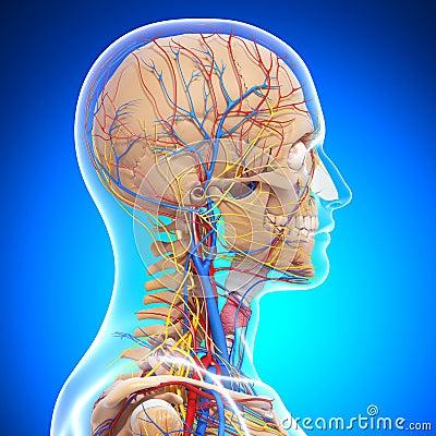 Anatomy of human head skeleton