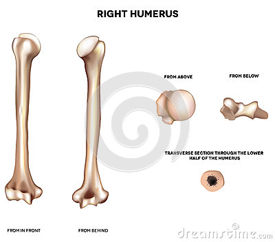 Anatomy of humerus
