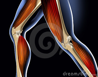 Anatomy Leg Stock Photography - Image: 2065212