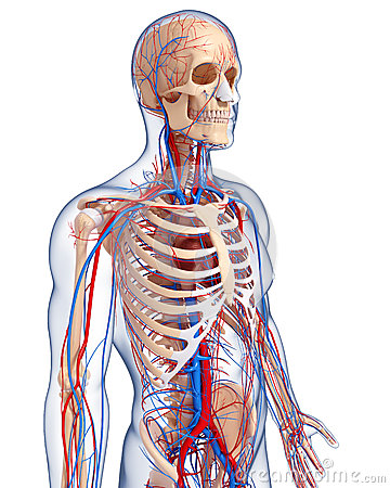 Anatomy of male body circulatory system