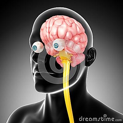 Anatomy of male brain and medulla oblongata