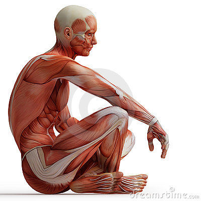 Free Anatomy, Muscles Stock Images - 19967054