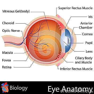 Free Anatomy Of Eye Stock Images - 31172044