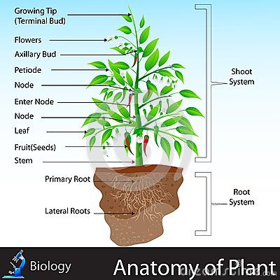 Free Anatomy Of Plant Royalty Free Stock Photo - 31171975