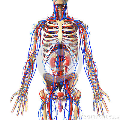 Anatomy of urinary system with veins and skeleton