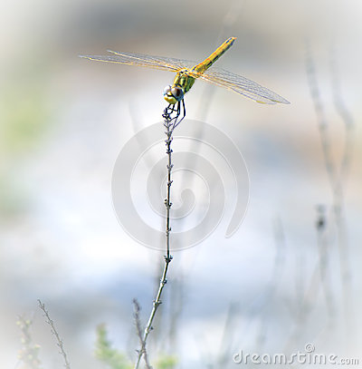 Anax longipes Dragonfly