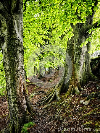 Free Ancient Beech Forest With Bright Green Verdant Spring Leaves With Tall Trees With Moss Covered Back And Roots In Yorkshire England Royalty Free Stock Photos - 113901718