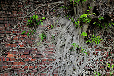 Ancient brick wall with tree root and new life