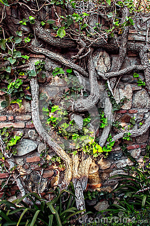 Ancient brick wall with tree roots