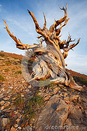 Free Ancient Bristlecone Pine Forest Royalty Free Stock Photography - 36005547