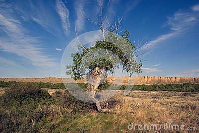 Ancient Cottonwood tree