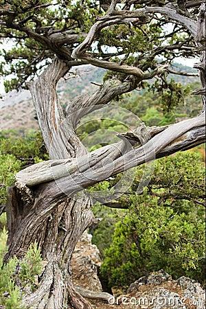 Ancient juniper