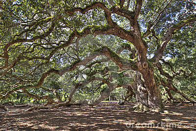 Ancient live oak tree
