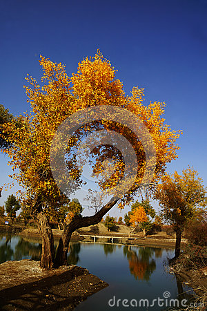 Ancient poplar