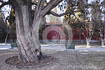 The ancient tree in a park