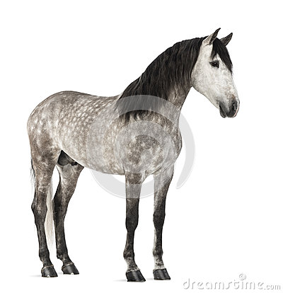 Andalusian, 7 years old, also known as the Pure Spanish Horse or PRE