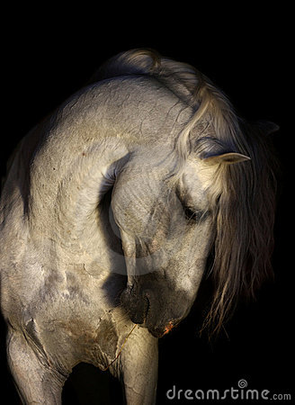 Free Andalusian Horse Portrait Stock Photography - 13103972
