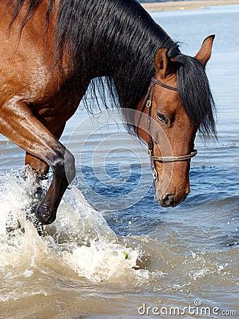 Andalusian Spanish Horse Splashing