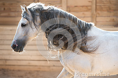 Andalusian white horse portrait in motion indoors