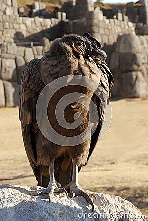 Andean Condor in Sacsayhuaman