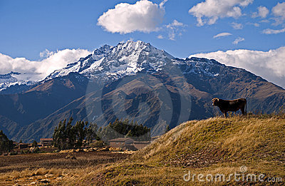 Andes and Cow