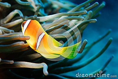 Anemon Fish Red Sea