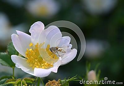 Anemone & Bee